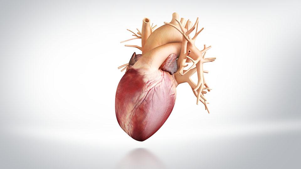 Ungewöhnlich Anatomie Des Menschen Herz Und Lunge Galerie - Anatomie ...